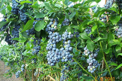 blueberry_bushes1_250x166
